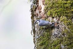 IMG_2633  Sitta europaea (SORO 556 by ENJOY DESIGN) Tags: canon sittaeuropaea  wildbirds  eos6d