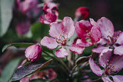 Cherry Blossom (Jennifer Andrade) Tags: pink flower tree green nature grass leaves cherry outside blossom bloom trunk blooming
