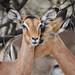 Too Shy, Shy - Impala Antelope