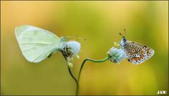 Miradas perdidas (- JAM -) Tags: naturaleza flower macro nature insect nikon flor explore jam mariposas d800 insecto macrofotografia explored lepidopteros juanadradas