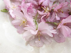 s7 (tarengil) Tags: blossom tree floral pink white sakura hanami flower plant
