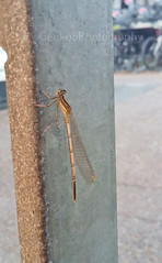 White-legged Damselfly - Platycnemis pennipes (Geckoo76) Tags: damselfly whiteleggeddamselfly platycnemispennipes