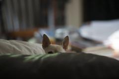 Covert Ops Molly (Jeannette Proctor Knapp) Tags: ohio dog cute puppy molly sneaky jeannette knapp proctor kirtland jproknapp10gmailcom
