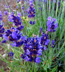 PEC Lavender Farm, Consecon, ON (Snuffy) Tags: flowers ontario canada lavender princeedwardcounty consecon level1photographyforrecreation peclavenderfarm