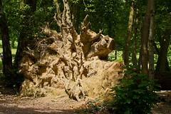tree (JOHN BRACE) Tags: park trees fallen tilgate crawley