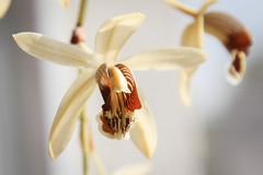 Coelogyne massangeana (blumenbiene) Tags: coelogyne massangeana orchidee orchideen orchid orchids plant pflanze flowers blüten blüte flower blütentrieb bud
