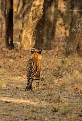 Bandhavgarh 031 (Black Stallion Photography) Tags: orange brown india white black grass photography cub stripes wildlife tiger spots bigcat ear bengal stallion carnivore bandhavgarh igallopfree