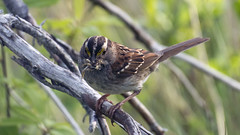 Gros Morne - White-throated Sparrow (Paul Clark SJ) Tags: canada newfoundland grosmorne whitethroatedsparrow 2016 bakersbrook nlphoto