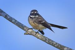 small bird series: a grey fantail (Fat Burns  (on/off)) Tags: greyfantail rhipiduraalbiscapa smallbird bird australianbird australianfauna fauna nikond750 sigma15006000mmf5063sports