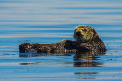 otter6July16-16 (divindk) Tags: californiaseaotter enhydralutris morrobay cute endangeredspecies fuzzy marine marinemammal ocean otter sea seaotter whiskers