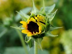 Emerging sunflower (pilechko) Tags: garden lambertville nj color flower sunflower bokeh selectivefocus summer