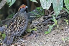 Spot-winged Wood-Quail - uru - Odontophorus capueira