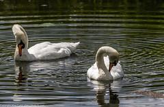 9Q6A2378 (2) (Alinbidford) Tags: heron kingfisher muteswan moorhen greyheron brandonmarsh alancurtis pairofkingfishers alinbidford