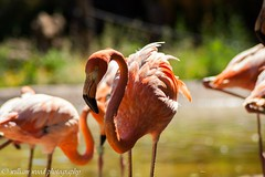 Pretty in pink (WRW Photography) Tags: pink canon zoo flamingo flamingos tamron canoneos zoomlens 450d canon450d
