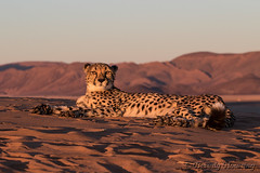 165-Cheetah_Dunes-016 copy (Beverly Houwing) Tags: africa sunset red mountains face closeup cat feline desert stare cheetah sanddune namibia lyingdown