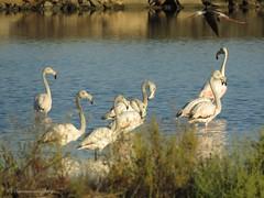 BIF. :-) (Manon van der Burg) Tags: morning portugal nature canon early flamingo summertime birdwatching riaformosa stilt naturephotography naturelover birdphotography sx60 zoutpannen powerrrrrshot