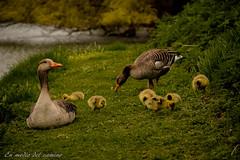Que viene mam pato / Duck mum is coming (En medio del camino) Tags: europa europe dinamarca denmark copenhague copenhagen kastellet pato duck csped grass naturaleza nature familia family