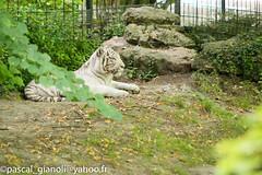 DSC_1881 (Pascal Gianoli) Tags: beauval lion lionne tigre tigreblanc whitetiger zoo zooparc saintaignansurcher centrevaldeloire france fr pascal gianoli pascalgianoli