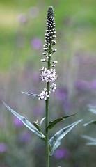 White spike (ProSession) Tags: whiteflower inflorescence lysimachia lysimachiaephemerum