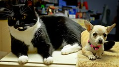 Friends (Photos by Rodney) Tags: mojo rosie cat dog puppy friends chihuahua