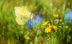 Brimstone butterfly. (augustynbatko) Tags: nature summer meadow insect flowers wildlife butterfly animal outdoor depth field