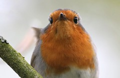 Robin Mug Shot (Ger Bosma) Tags: 2mg174954zzfiltered roodborstje roodborst erithacusrubecula robin europeanrobin rotkehlchen petirrojoeuropeo rougegorgefamilier pettirosso closeup bird head eyes portrait