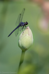Just a Brief Rest (dngovoni) Tags: vienna flower macro closeup insect virginia us unitedstates lotus dragonfly background wildlife bud meadowlark
