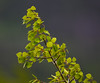 New Aspen Leaves in the Wind (mharoldsewell) Tags: 2016 aspen aspens colorado d7200 nikon sigma150500mmf5063hsmapodgos spring leav leaves mharoldsewell mikesewell photos tree trees wind