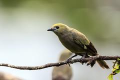 Palmtangare (RiversideMovie&Pictures Wildlife) Tags: palmtanagerthraupispalmarm costarica sancarlos bocatabada