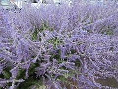 Perovskia (Russian Sage) (wallygrom) Tags: england westsussex angmering haskins perovskia