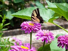 Enjoying the zinnias (Hannah Underhill) Tags: insect flowers gardening memphis tenessee wildlife summer seasonal