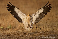 Egyptian Landing (Nicholas Ferrary) Tags: nicholasferrary nature nikon nikond800e nikon200400mmvr nikond810 d800e d810 birds birdsofprey birdlife birdmigration bird birdofprey vultures vulture egyptianvulture egyptianvultures egyptian buitre alimoches valledealcudia spain spanishwildlife wildlife ciudadreal