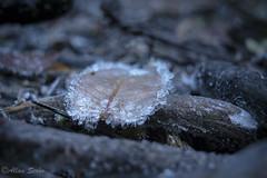 Winter is Here ! (AllanS.) Tags: leaf hoja winter invierno hielo ice escarcha congelado rocio frozen bosque forest nature naturaleza frost