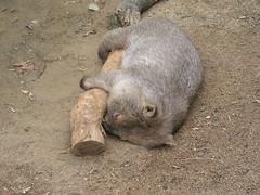 Sleepy Wombat - Sydney Day 4 - Toronga Zoo (gttexas) Tags: 2009 australia cruise starprincess sydney tarongazoo