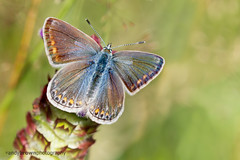 Common Blue (f) (Explored 6 August 2016) (ABPhotosUK) Tags: animals butterflies canon commonblue dartmoor devon ef100400mmisii ef25mmextensiontube eos7dmarkii invertebrates lepidoptera lycaenidae macro nocrop polyommatusicarus wildlife bigbutterflycount