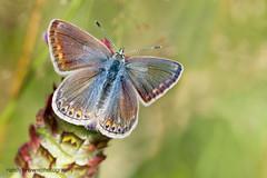 Common Blue (f) (Explored 6 August 2016) (ABPhotosUK) Tags: animals butterflies canon commonblue dartmoor devon ef100400mmisii ef25mmextensiontube eos7dmarkii invertebrates lepidoptera lycaenidae macro nocrop polyommatusicarus wildlife bigbutterflycount