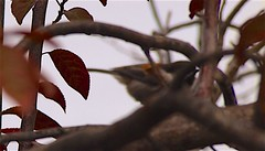 Plum tree 20140928 (caligula1995) Tags: 2014 chickadee plumtree