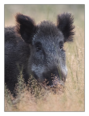 AR161276-B (-AR-) Tags: zwijn everzwijn wildboar susscrofa wild natuur nature wildlife veluwe radiokootwijk wildzwijn ever dier animal veld field