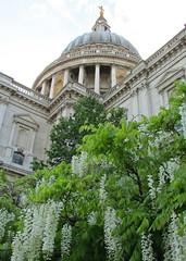 Wisteria & St Paul's Cathedral, London, England (Amethinah) Tags: 2013 uk unitedkingdom greatbritain england london stpaulscathedral wisteria