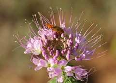 Blister beetle on Rocky Mountain beeplant (Jeff Mitton) Tags: blisterbeetle rockymountainbeeplant cantharadin earthnaturelife wondersofnature