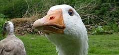 Lydford's eye damage (Steeple Ducks) Tags: pilgrim goose gander geese eye damage