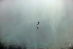 Almost Touching the Falls (kaprysnamorela) Tags: niagarafalls niagarariver mist gull bird daylight outside