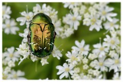 Une belle carapace... A beautiful shell ... (isabelle.bienfait) Tags: coloptre ctoinedore goldenrosechafer carapace shell macro insecte nikond5100 sigma105 nature cetoniaaurata hanneton hannetondesroses cetoniidae scarabee