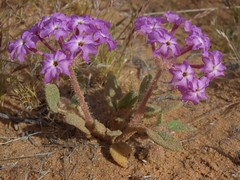 desert sand verbena, Abronia villosa var. villosa (Jim Morefield) Tags: clarkcounty nevada unitedstates nyctaginaceae fouroclockfamily abronia abroniavillosa abroniavillosavarvillosa wfgna flora wildflower wildflowers angiosperm dicot plant flowers flower blossom bloom desertsandverbena annuals annual desert winter mormonmesa virginvalley mojavedesert soil olympus evolt e510 olympuse510 jdm20160119 taxonomy:family=nyctaginaceae taxonomy:genus=abronia taxonomy:binomial=abroniavillosa taxonomy:common=desertsandverbena taxonomy:trinomial=abroniavillosavillosa geo:alt=620m pink 5petals roundcluster