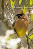 Cedar waxwing (The Suss-Man (Mike)) Tags: bird nature animal georgia gainesville cedarwaxwing hallcounty thesussman sonyalphadslra550 sussmanimaging