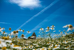 Farmhouse with Chamomile field