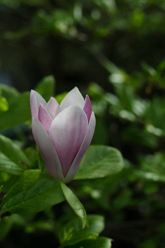 Magnolia ©  Still ePsiLoN