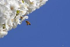 _MG_2047R Full Load, Jon Perry - Enlightenshade, 7-4-15 zak (Jon Perry - Enlightenshade) Tags: flowers spring blossoms bluesky bee springflowers chiswick springsunshine 7415 collectingpollen jonperry enlighenshade arranginglightcom 20150407