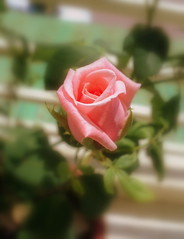 rose bud.. will blossom soon.. (Soni1592) Tags: pink beauty rosebud initself