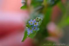 花 kiurigusa 青 (ericchi.photography) Tags: cute japan hand 日本 花 青 春 手 かわいい flower 小さい blue spring small